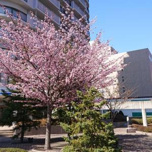 札幌も桜が開花…赤帽札幌シェルパ