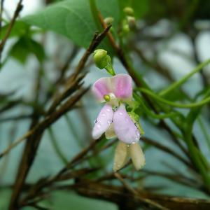 桑の木豆の初花