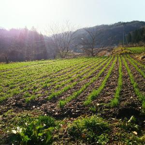小麦の様子