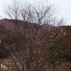 高田梅の開花
