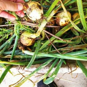 不作の玉ねぎの収穫