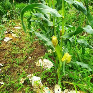 秋用とうきびの定植