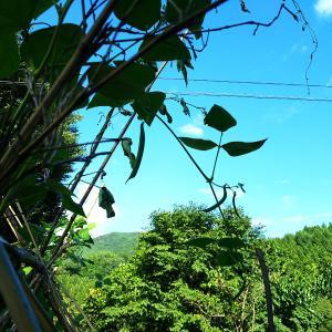 茶豆と桑の木豆