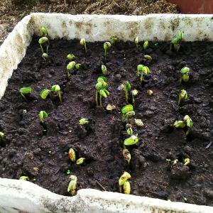 大豆に芽と鳥害