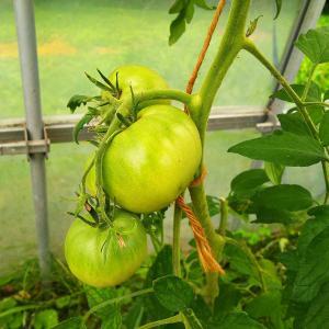 トマトが赤くなりました💛とれたす