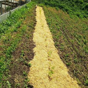 ニンジンの雑草対策