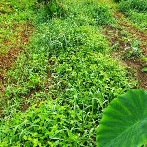 雨続きの家庭菜園(~_~;)