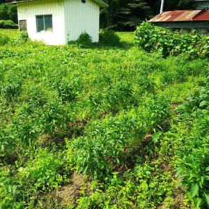 トウガラシの様子と大豆