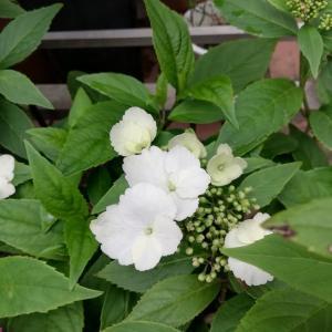 冬咲きアジサイを育ててみました。(春咲き)