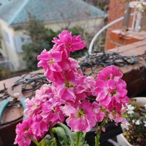 ストック(1月に咲く花)