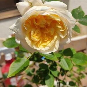 ミニバラ、元気に咲いています
