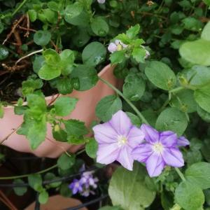 コンボルブルススターうおずが咲きました