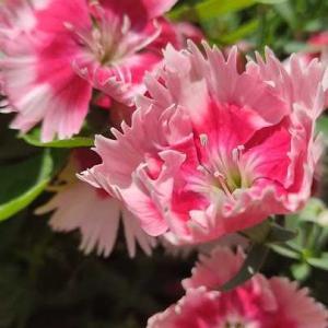 ダイアンサス咲いています