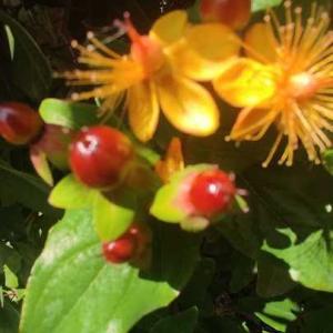 ヒペリカムは花と実が楽しめます