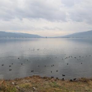 諏訪湖 ヒドリガモ