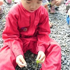 7月の自然体験教室 田んぼの草取りと分げつした稲の学習・スコーン付き
