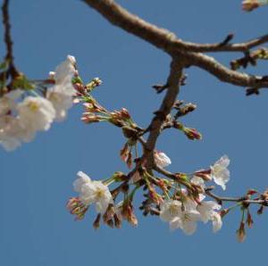 桜とご予約状況