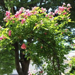 アーチ薔薇