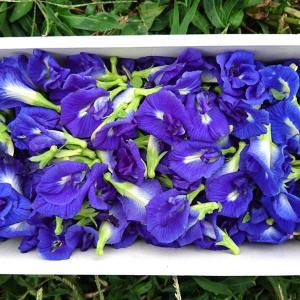『バタフライピー』青い花で♪色の変化を楽しめるドリンク♪