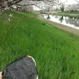 『びん沼川』の桜並木、開花情報♬だいぶいい感じです♪