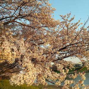 『夕日に黄昏る桜』にしてみました♪