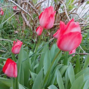いっぱいチューリップが咲いてた(#^^#)カワイイ~