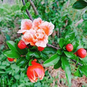 果実がつくのは 鮮やかなオレンジというか朱色♬マダラ模様の方は見るだけ(笑)