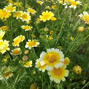 春菊の花が満開で、めちゃくちゃカワイイ~♬