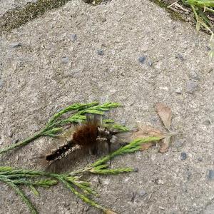 農作業してる途中、この毛虫君といっぱいお会いした(泣)