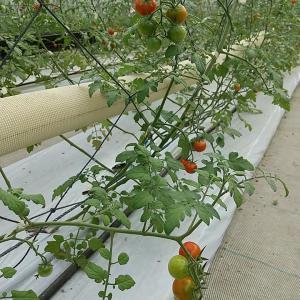 そして、トマトシーズンは、そろそろ始まります!
