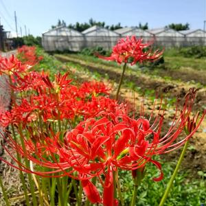 彼岸花♬曼珠沙華♪ヒガンバナが畑の至るところで満開♬