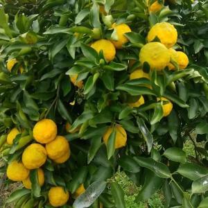 庭木としてこの小さいサイズの柚子の木が必ずあるんです♪