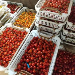 トマトが!トマトが!トマトが!!!いっぱいトマトが!