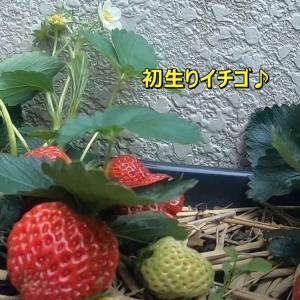 初収穫の🍓いちごちゃんでち+動画 ∪o・ェ・o∪