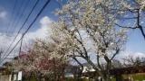 「梅の花が ほぼ満開です」200218