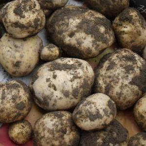 ニンジンの種まき と ジャガイモ