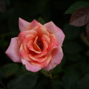 バラの二番花 と マスク