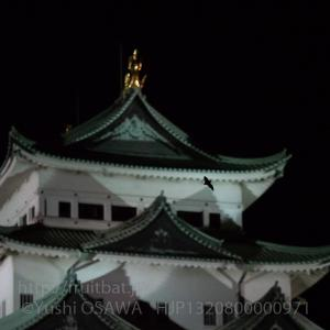 名古屋城のアブラコウモリ