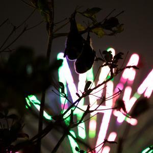 クリスマスのアメリカンビレッジのクビワオオコウモリ