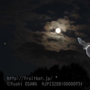 月とアブラコウモリ