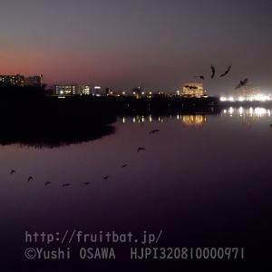 谷津干潟のアブラコウモリ