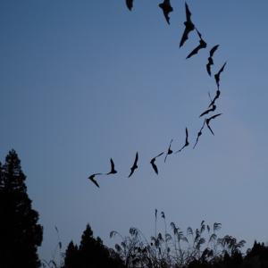 ユビナガコウモリの出巣