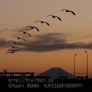 アオサギと富士山