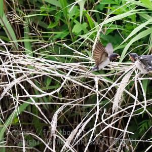巣立ったばかりのツバメ