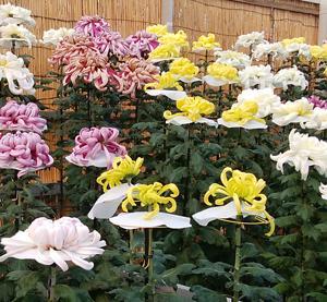 加古川の菊花展へ