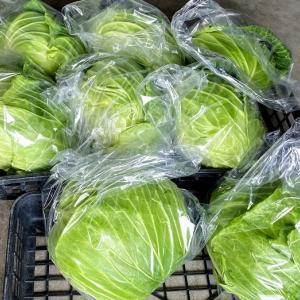 母農園ではキャベツ、白菜が収穫最盛期を迎えています
