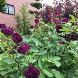 バラ、ばら、薔薇の季節ですよ~ん♪