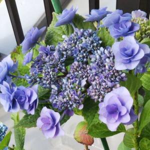 ベランダの紫陽花とおうちネイル♪