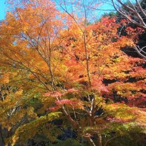 千草の「みやたきの紅葉」・・・