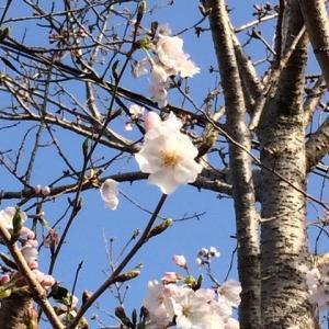 すっかり桜咲いてますよ。